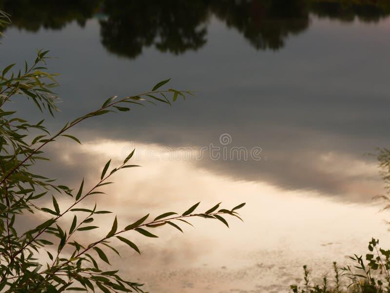 与叶子的杨柳分支在水的晚上 免版税图库摄影