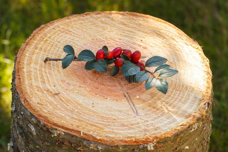 与叶子的枸子属植物在木树桩在庭院里 库存照片