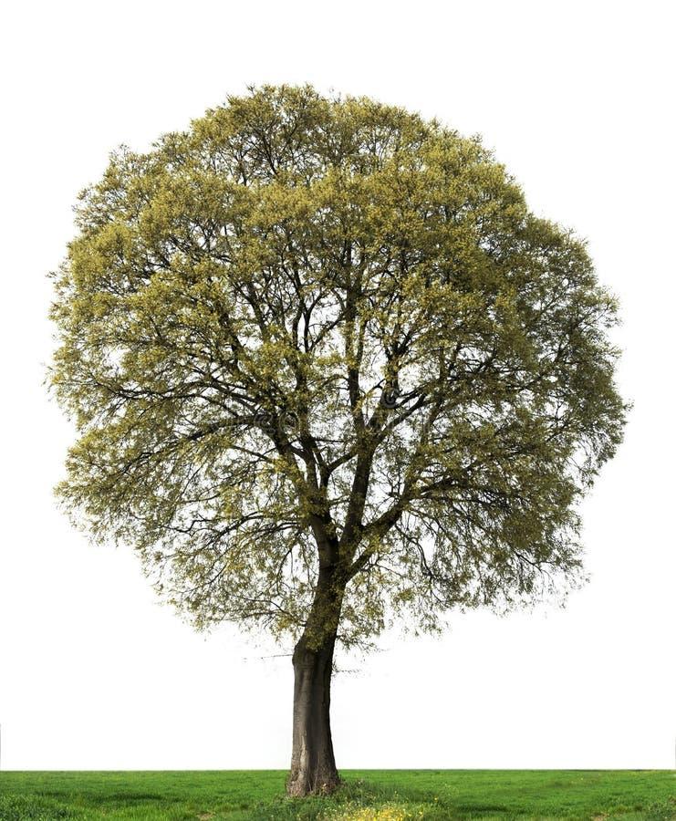 与叶子的树在春天 库存照片