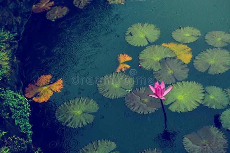 与叶子的桃红色开花的荷花在雨下在小池塘 库存照片