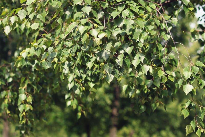 与叶子的桦树分支 免版税库存图片