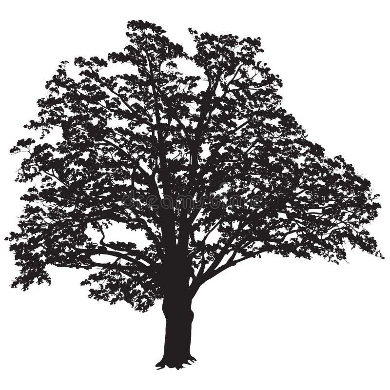 与叶子的橡树剪影在黑白传染媒介im 向量例证