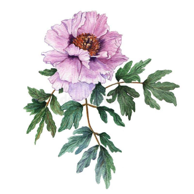 与叶子的水彩浅粉红色的树型牡丹在白色背景 新鲜的开花的牡丹 库存例证