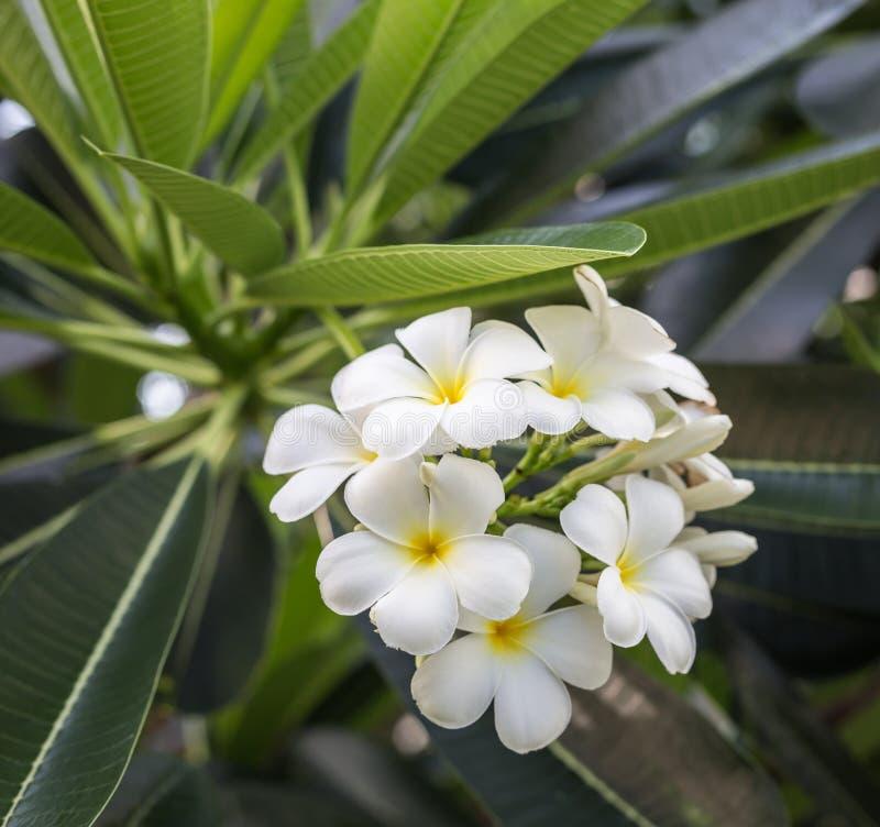 与叶子的白色羽毛花在树 免版税库存图片