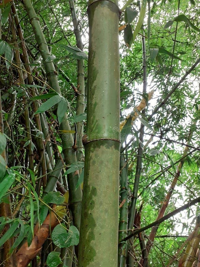 与叶子的绿色竹树在多雨天气的,印度森林里 库存图片