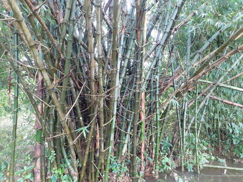 与叶子的绿色竹树在多雨天气的,印度森林里 免版税库存照片
