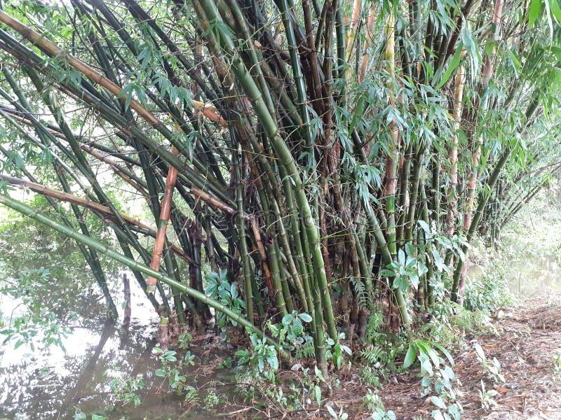 与叶子的绿色竹树在多雨天气的,印度森林里 库存照片
