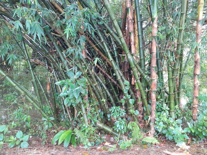 与叶子的绿色竹树在多雨天气的,印度森林里 免版税图库摄影