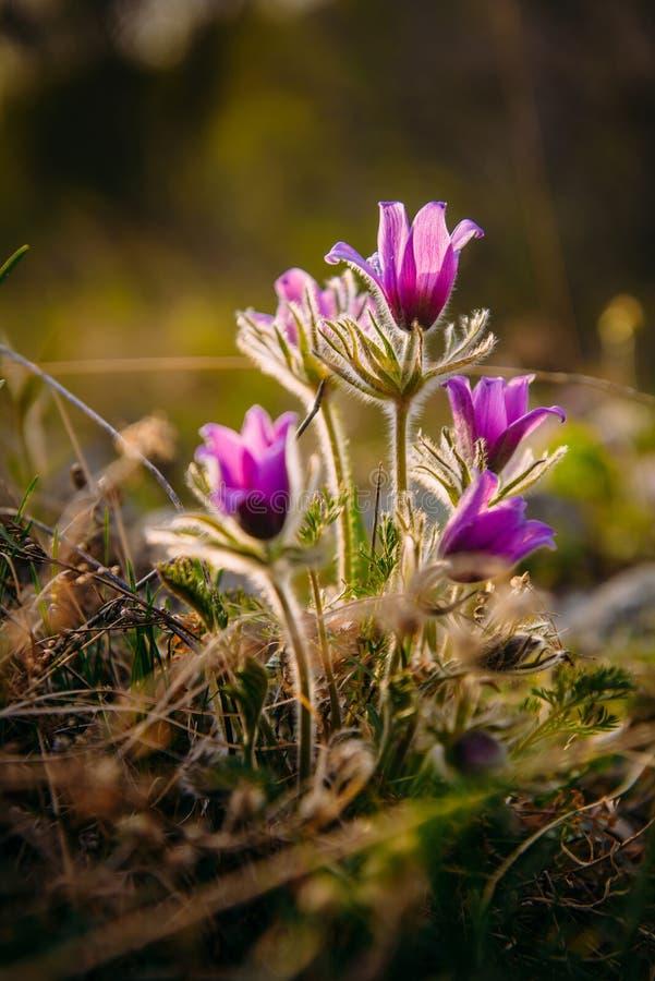 与叶子的美丽的花在阳光下,葡萄酒减速火箭的图象关闭 春天桃红色花 库存照片