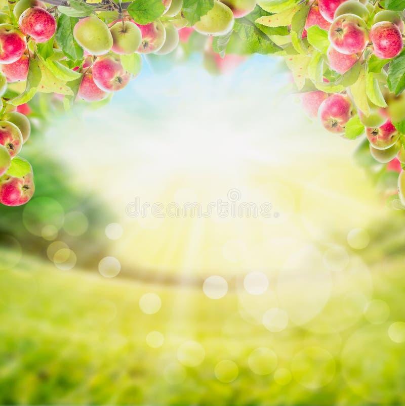 与叶子的苹果分支在庭院 免版税库存图片