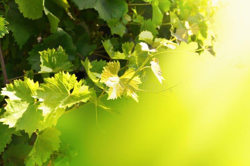 与叶子的葡萄树在明亮的晴朗的背景 图象 图库摄影