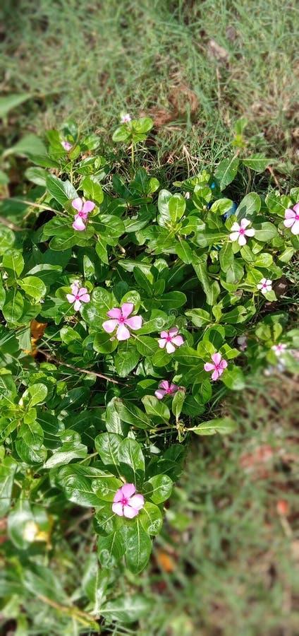 与叶子的逗人喜爱的桃红色花 免版税图库摄影