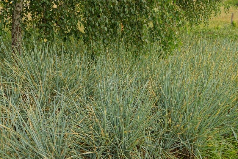 与叶子的高草和桦树分支 库存图片