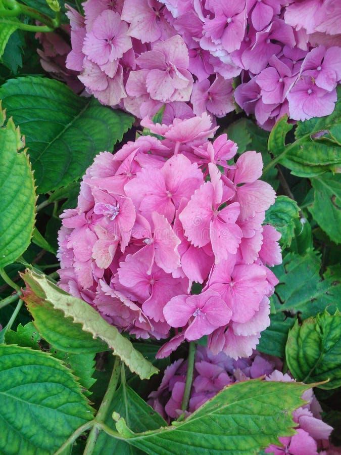 与叶子的令人敬畏的桃红色/紫罗兰色花从庭院 库存图片