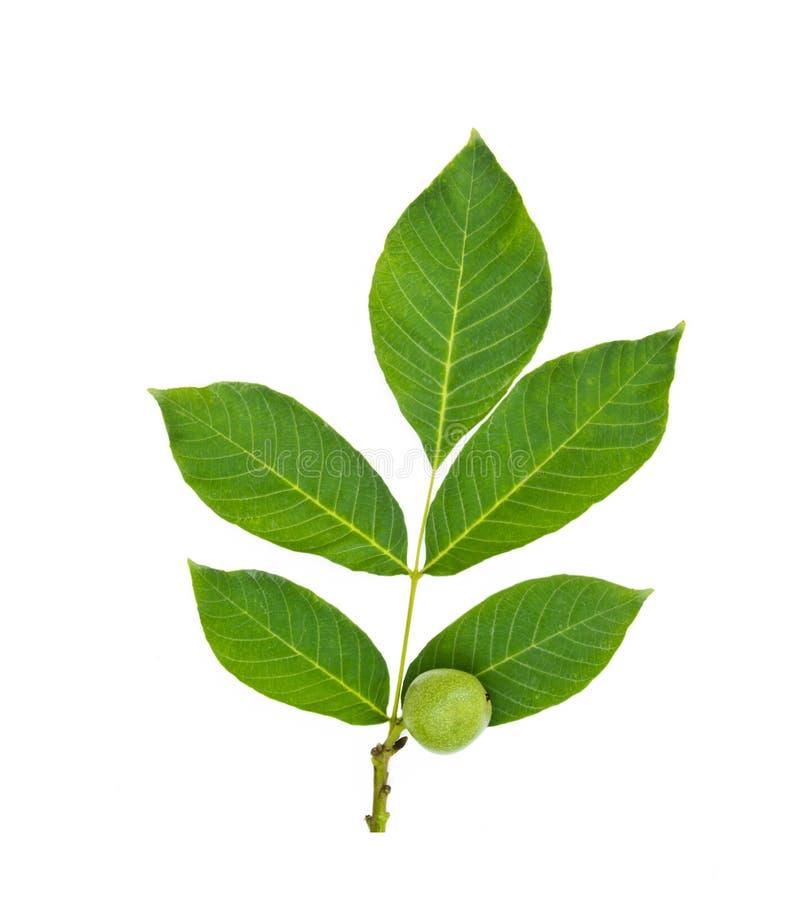 与叶子的绿色核桃果子 免版税库存图片