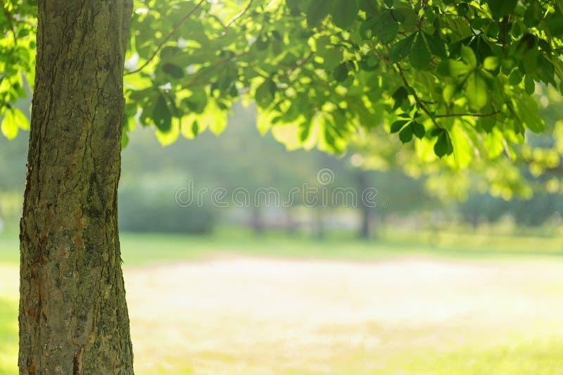 与叶子的Chesnut树 图库摄影