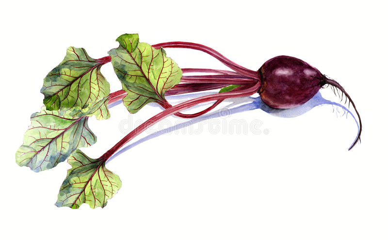 与叶子,在白色背景的水彩绘画的甜菜,被隔绝 皇族释放例证