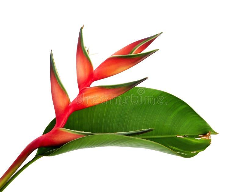 与叶子,在白色背景隔绝的热带花的Heliconia bihai红色palulu花,与裁减路线 免版税图库摄影