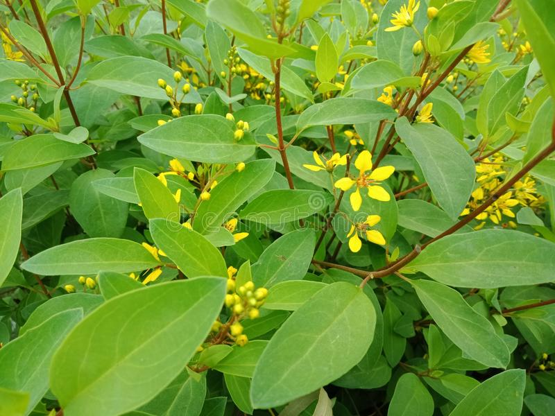 与叶子,自然背景墙纸的黄色小花 免版税库存图片