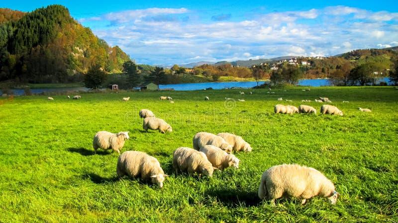与吃在一个草甸的绵羊牧群的农村场面草在秋天 免版税库存照片