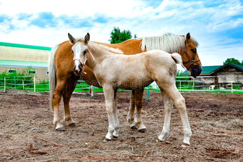 与吃草一只幼小的驹的红色马 ?? 免版税库存图片