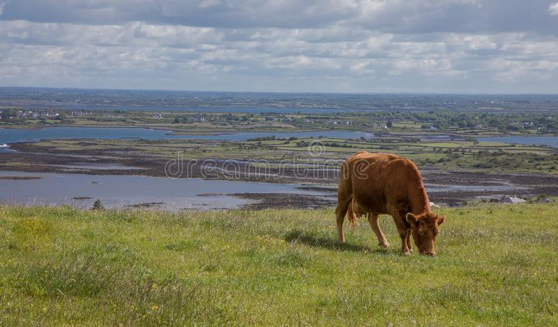 与吃草在有海和多云天空的草山的布朗母牛的风景在背景中 免版税库存照片