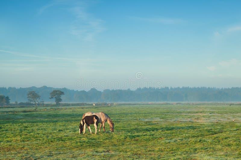与吃草在牧场地的驹的母马在有薄雾的早晨 库存图片