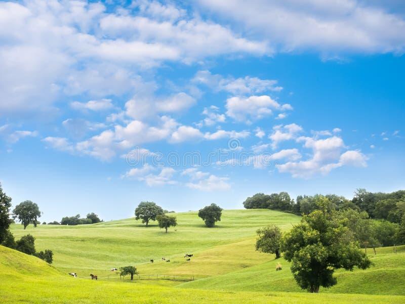 与吃草母牛和马的农村风景在一个绿色草甸 库存照片