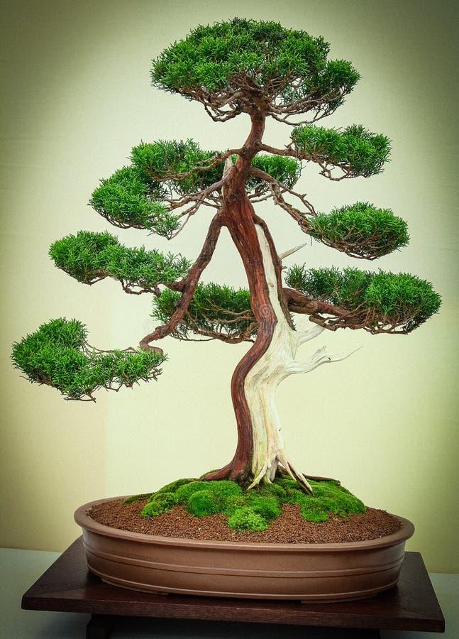 与同色而浓淡不同的树干的盆景树 免版税库存图片
