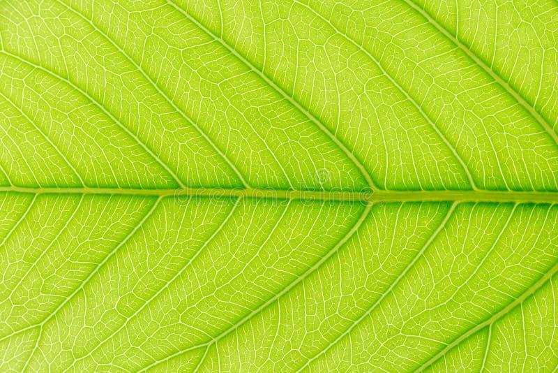 与后边光的绿色叶子样式纹理背景为网站模板、春天美景、环境和生态概念 免版税库存图片