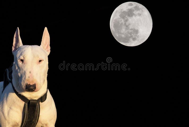 与后边满月的微型杂种犬 免版税图库摄影