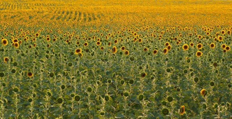 与向日葵绽放的农田 图库摄影