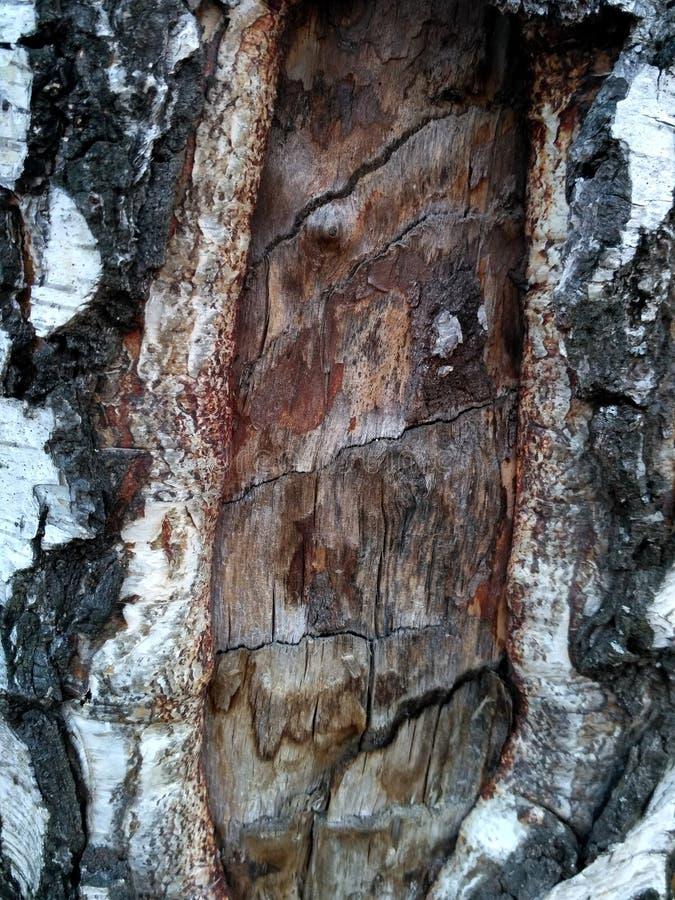 与吠声和光秃的破裂的区域的老桦树树干 库存图片