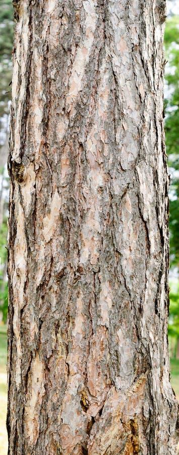 与吠声的杉树树干 图库摄影