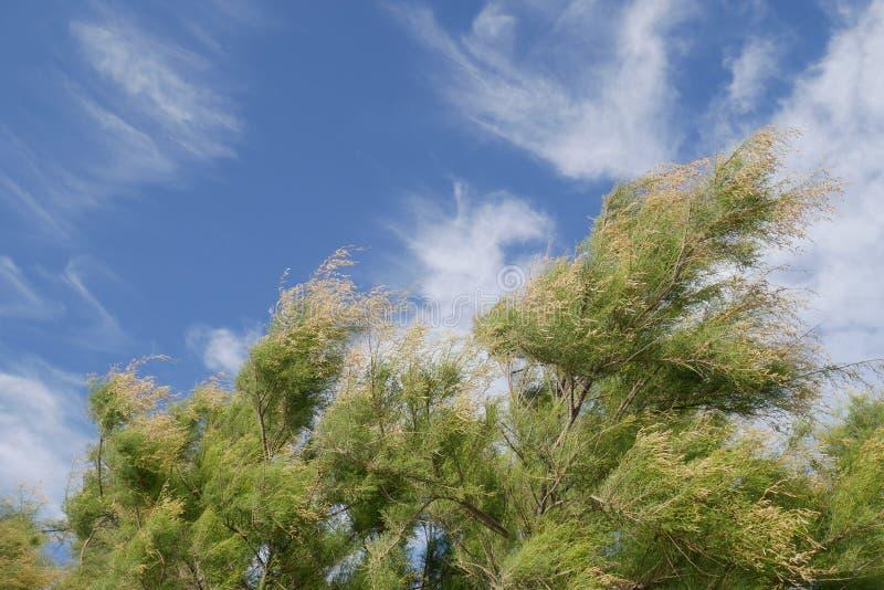 与吹在风和美丽的多云蓝天的杉木的惊人的背景在刮风的天气期间 图库摄影