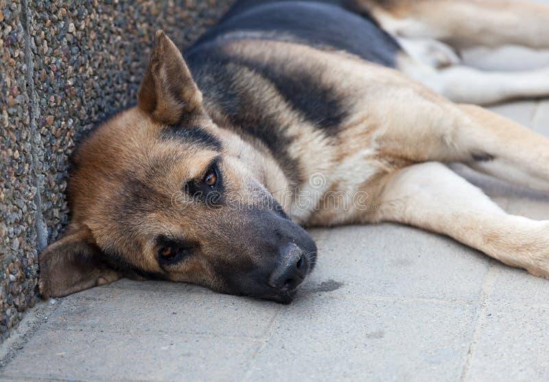 与哀伤的眼睛的布朗狗 库存图片