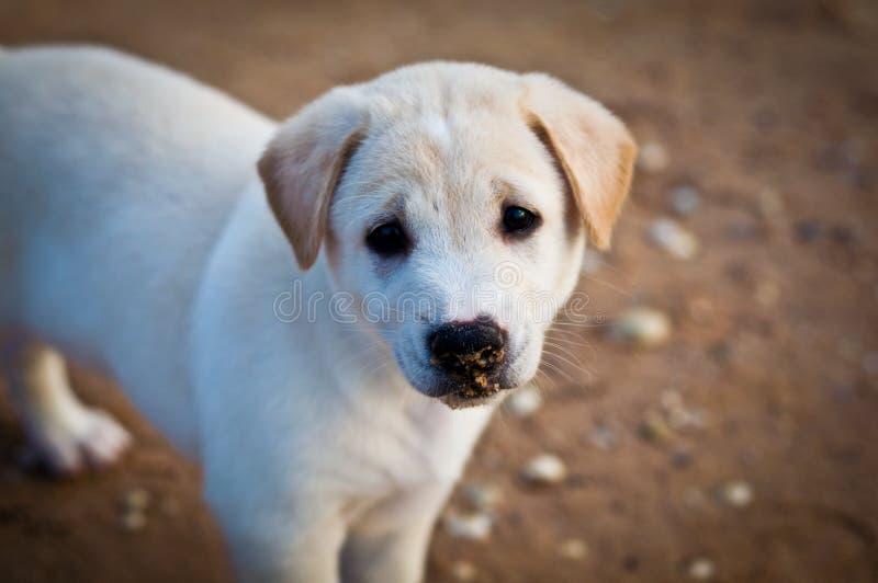 与哀伤的眼睛的白色小狗 库存照片