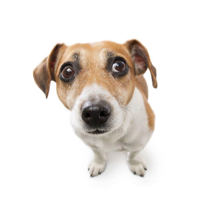 与哀伤的眼睛神色的狗 库存照片