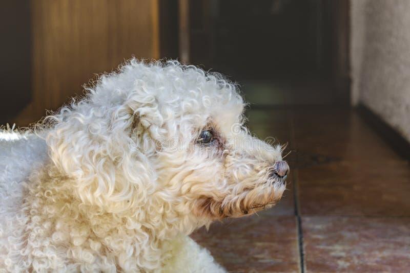 与哀伤的表示的白色长卷毛狗 库存照片