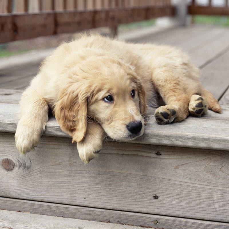 与哀伤,阴沉,噘嘴的表示的金黄实验室拉布拉多猎犬小狗宠物 逗人喜爱,滑稽,坏,乏味狗概念 免版税库存照片