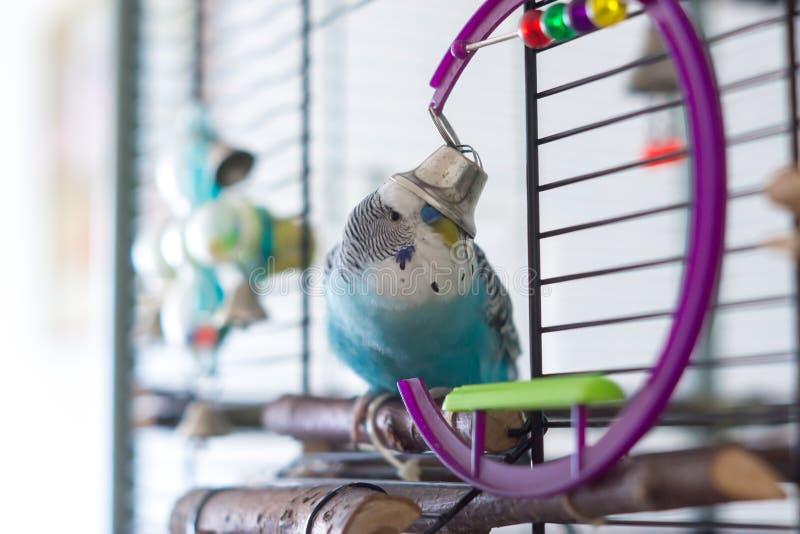 与响铃的公蓝色波浪鹦鹉 免版税库存图片
