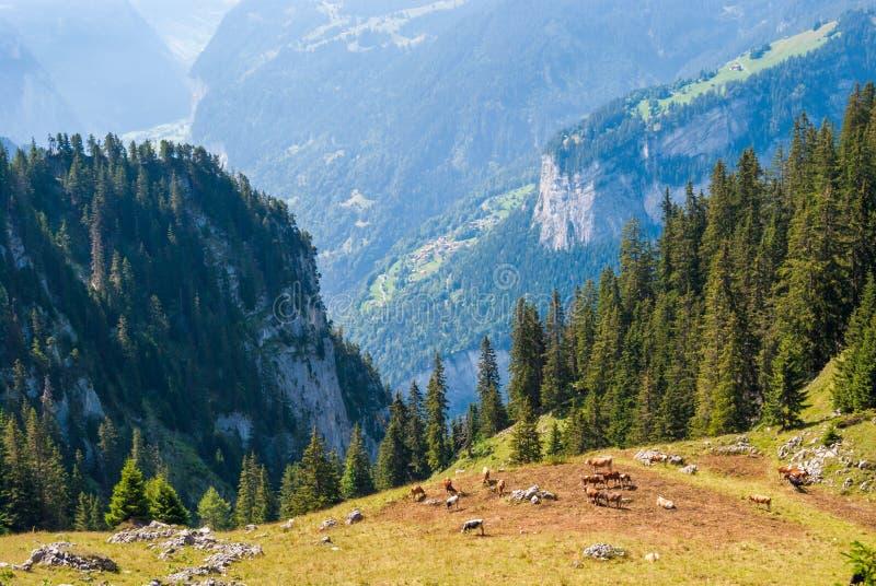 与响铃的美丽的棕色和白色母牛在他们的脖子上在一个美丽的绿色草甸吃草高在瑞士人的山的 免版税库存照片