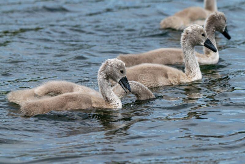 与哺养与头的一个的疣鼻天鹅小天鹅被淹没在水下 免版税库存照片