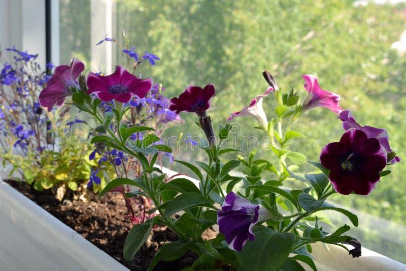 与喇叭花和山梗菜的花床 有开花的盆的植物的阳台庭院 图库摄影