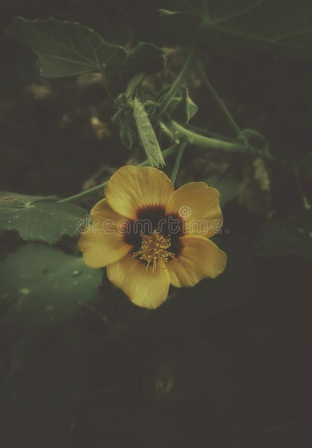 与喜怒无常的神色的一朵美丽的黄色花 库存图片