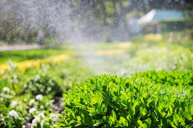 与喷洒浇灌家庭菜园的草坪与一条彩虹的自动喷水隆头的美好的风景在水中下降 免版税库存图片