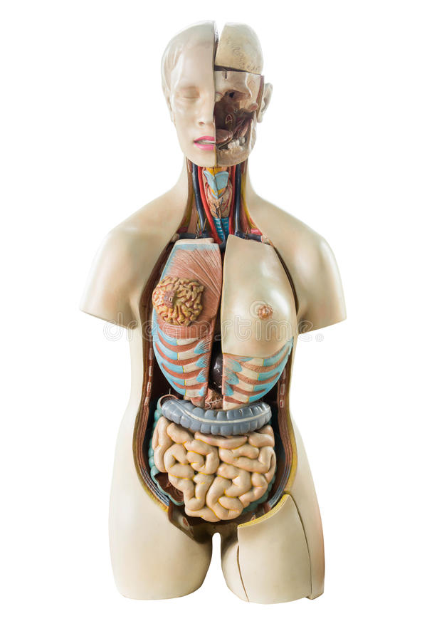与器官的综合性人的躯干模型 免版税图库摄影
