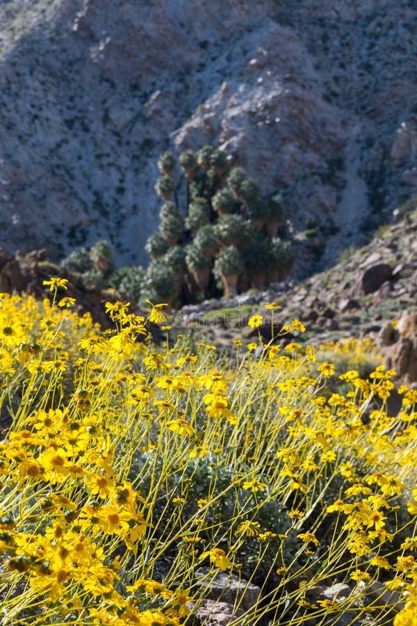 与四十九片棕榈绿洲的黄色花绽放 图库摄影