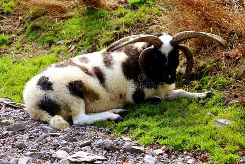 与四块垫铁雅各布品种的绵羊 库存照片
