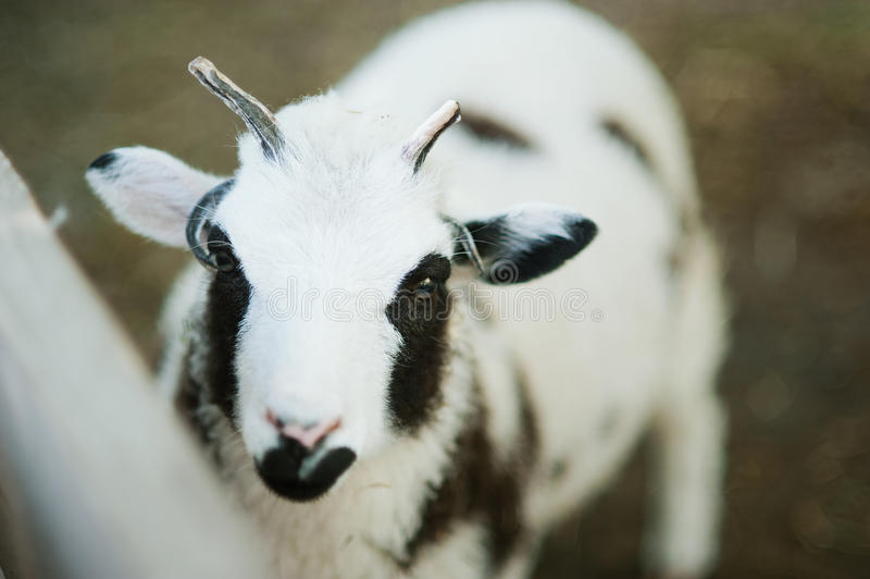 与四块垫铁雅各布品种的绵羊 库存图片